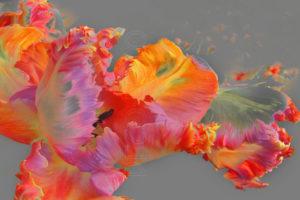 Tulip art: roze tinten en licht grijze achtergrond aangepast op verzoek.
