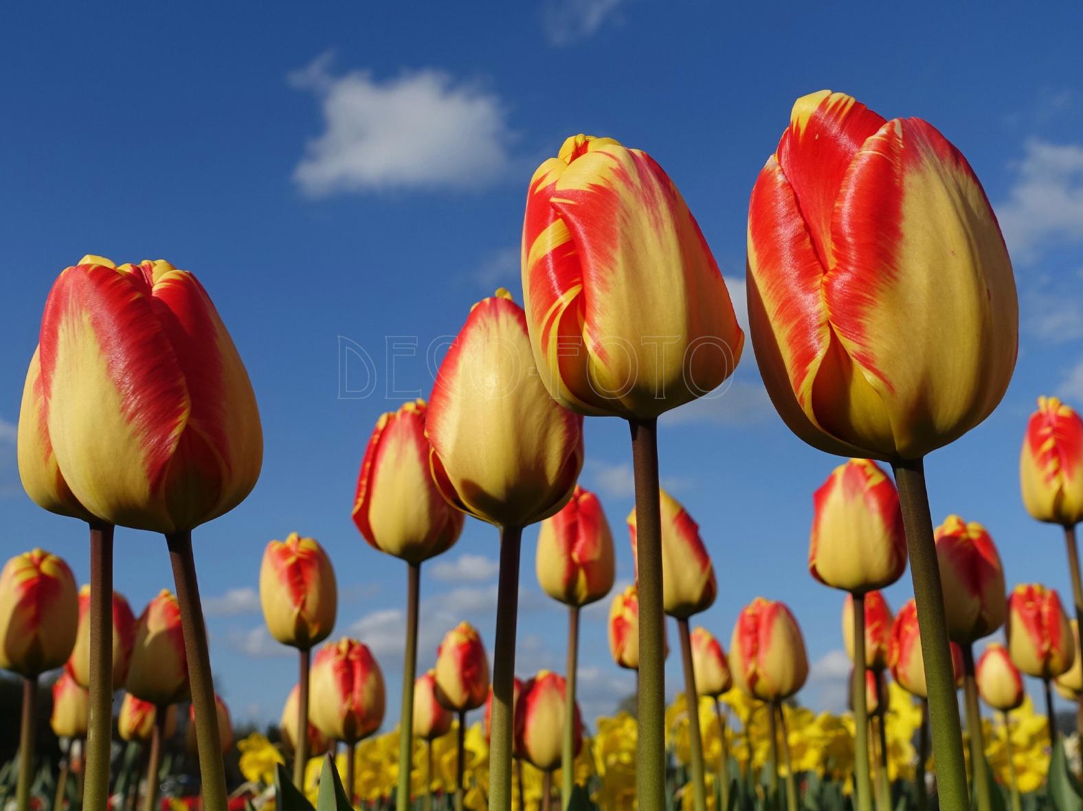 Deze tulp geeft je een zomers gevoel deco foto wanddecoratie kaarten - Foto deco ...
